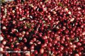 Fresh Cranberries (FC)
